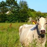 Der Unterschied zwischen Bio-Käse und konventionellem Käse